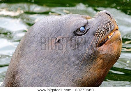 Patagonian Sea Lion
