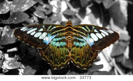 Colourful Butterfly On A Black And White Background