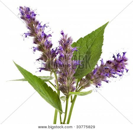 fresh peppermint herb and flowers isolated on white background