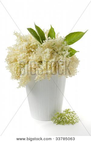 Elderflower (Sambucus nigra), in vase
