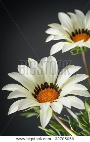 White gazania flower (Gazania rigens) against dark background