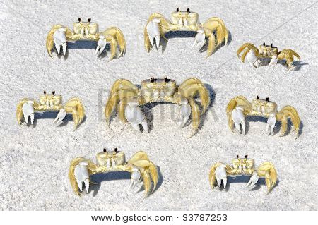 Yellow Fiddler Crabs