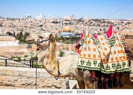 Camel on Mount of Olives and panoramic view on old Jerusalem, Israel