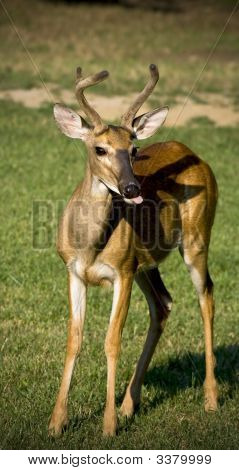 White-Tailed Buck In Grassy Field