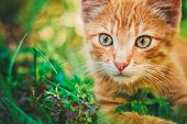 Cute Tabby Red Ginger Cat Sitting In Grass Outdoor. poster