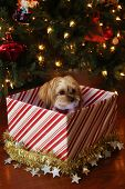 Christmas Dog. A beautiful pure breed Bichon Frise dog is presented as a Christmas Gift under a Chri poster