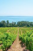 Rows Of Green Vineyards On The Hill Above The Neuchatel Lake In Switzerland. Photographed On A Sunny poster