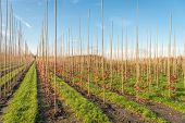 Endless Long Converging Rows Of Young Trees Supported With Sticks In A Dutch Tree Nursery. Strips Of poster