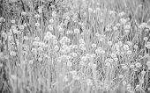 Field With Dandelion. Meadow Of White Dandelions. Summer Field. Dandelion Field. Spring Background W poster