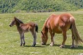 Cute Foal And Mare In Green Meadow In The Mountains Of Cantabria, North Of Spain poster