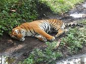 Bengal Tiger Image, This Tiger Is Very Dangerous Animal. This Tiger Is Sometimes Man-eater Like Sund poster