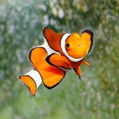pic of clown fish  - Tropical reef fish  - JPG