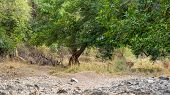 Ranthambore Tiger Or Tigress Walking In Green Forest For Territory Marking During Morning Safari. St poster