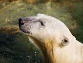 pic of novosibirsk  - polar bear close up in the Novosibirsk zoo - JPG