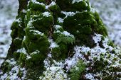 Thick Green Moss On Trunk And Tree Roots Covered With First Light White Snow poster