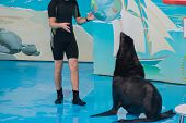 Cute Fluffy Pinniped Seal Performs At A Show In A Dolphinarium, An Aquarium. Trained Fur Seal Plays  poster