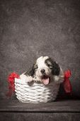 The Cute Little Puppy With Tongue Is In Basket On Dark Gray Background. Puppy For Gift. poster