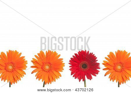 Stand Out Daisy: Orange And Red