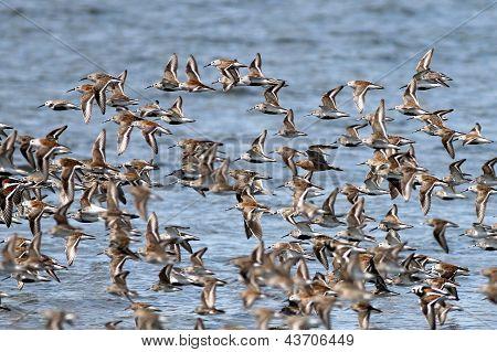 Shorebirds on the Washington Coast