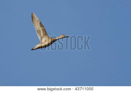 Feminino-arrebio voando em um céu azul