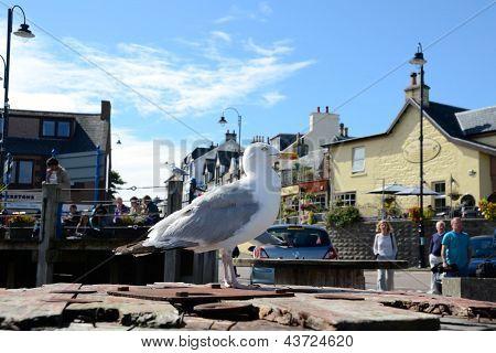 Seagull at Mallaig, Scotland