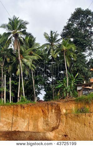 ?oconut Palms
