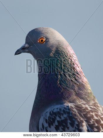 Rock Pigeon Profile
