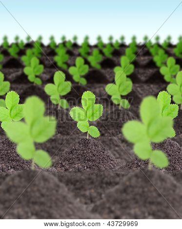 Rows Of Young Green Plants