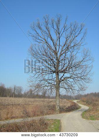 Oak ALONE