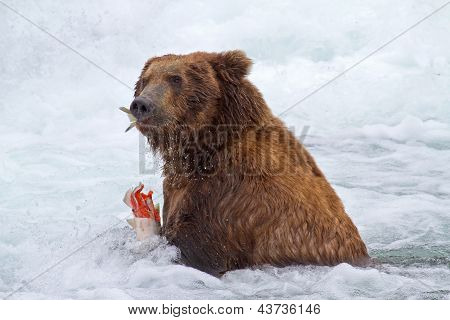 Grizly Bear at Alaska