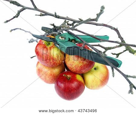 Secateurs and apples