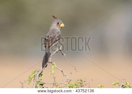 Pyrrhuloxia (cardinalis Sinuatus) - Texas