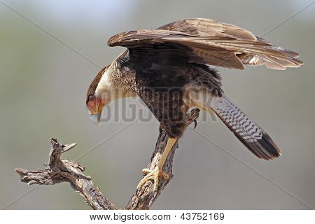 Immature Crested Caracara - Texas