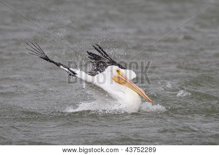 White Pelican Taking A Bath - Corpus Christi, Texas