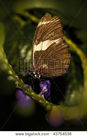 California longwing butterfly
