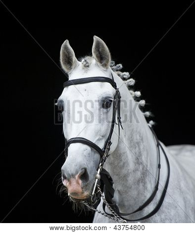 grey orlov trotter horse on black