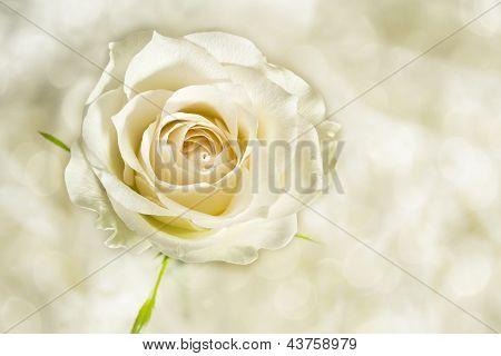 Rose Cream Colored