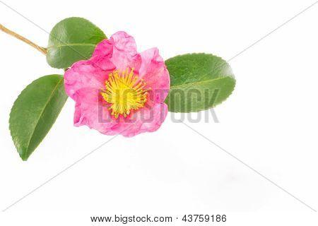 Flower Is Blooming Sasanqua