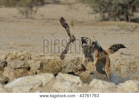 Jackal hunting sand grouse