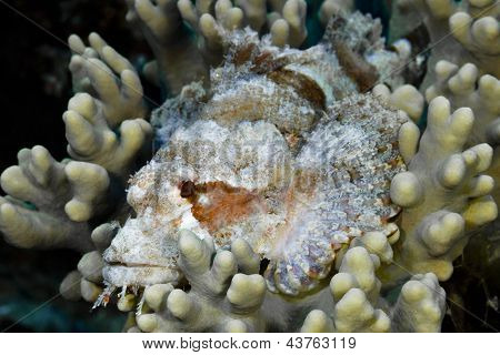 Scorpion Fish, Scorpaenidae