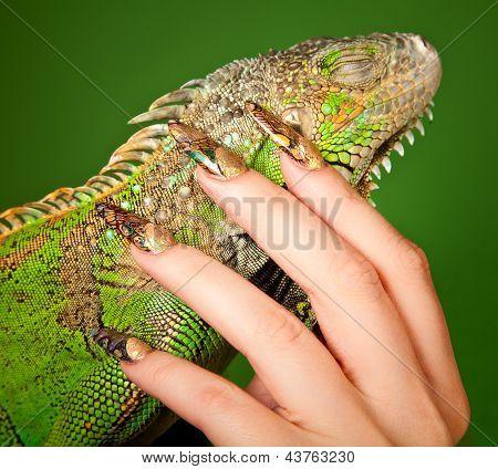 Female Hand With Beautiful Manicure Touching  A Iguana
