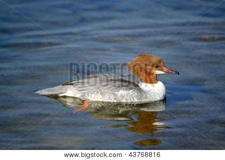 Goosander Female Duck