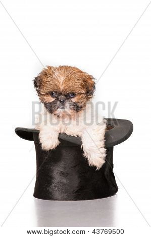 Adorable Shih Tzu Puppy In Top Hat