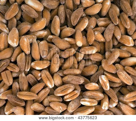 Spelt Aka Hulled Wheat Macro