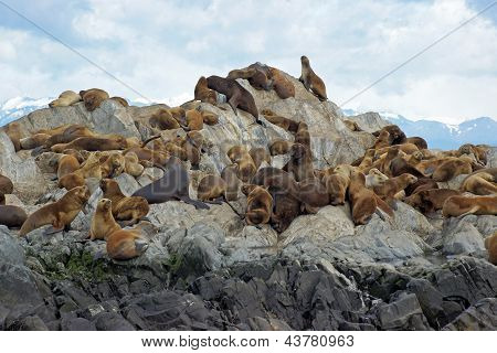 Sea Lions colony, Beagle Channel, Argentina