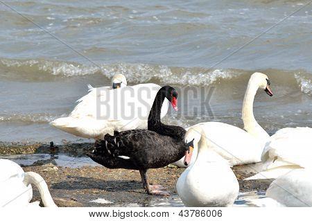 Black swan amongst whites