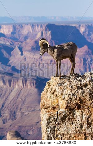 Big Horn Ram Standing On The Edge Of Grand Canyon