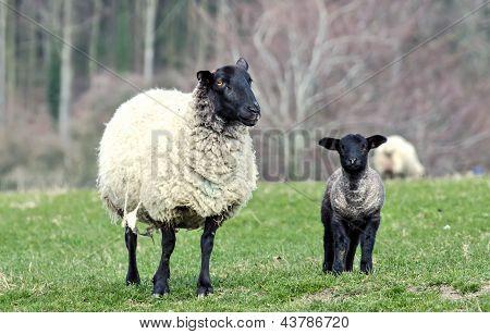 Ewe looking at me