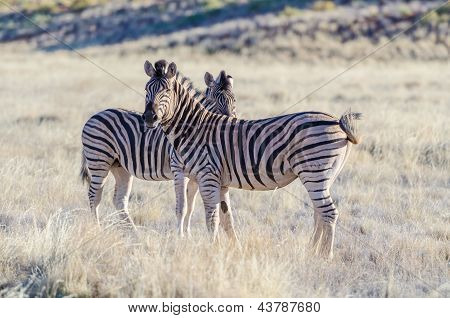 Burchell's zebras in the savannah
