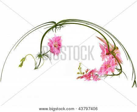 Pink Nigella. Nigella Sativa L.